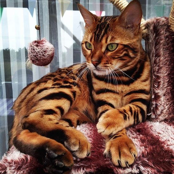 This is Thor, a Bengal Cat worthy of the Name