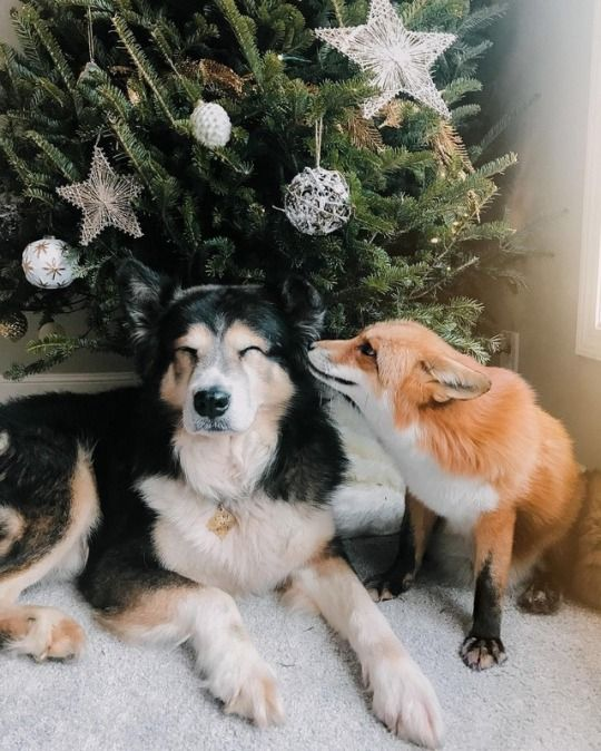 This is Juniper, the Happiest Fox in the World