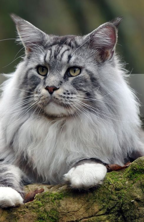 20 Facts about Maine Moon Cats You Need to Know