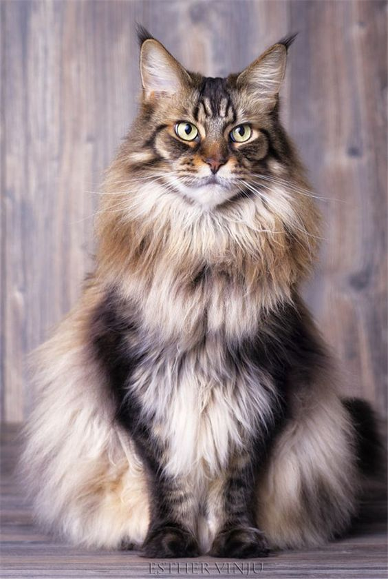 20 Facts about Maine Coon Cats You Need to Know