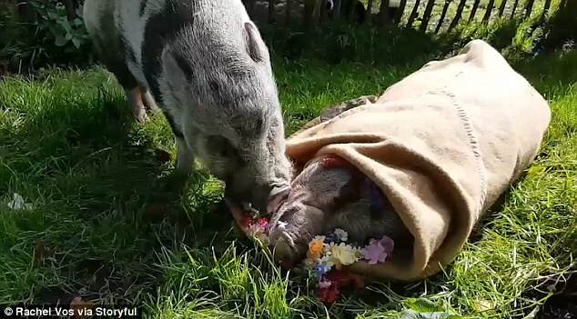 Painful Video: Sad Piggy Mourns His Best Friend's Death