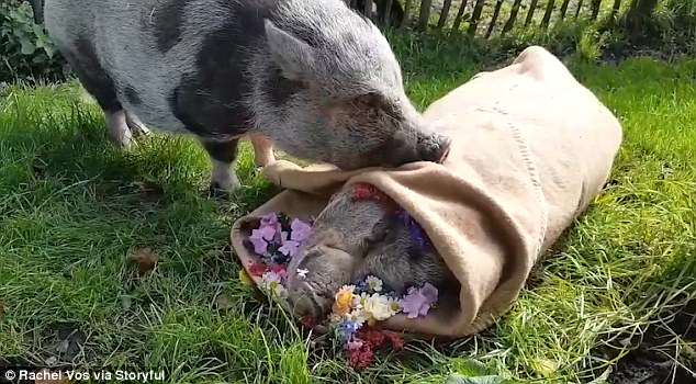 Painful Video: Sad Piggy Mourns Over His Best Friend's Death