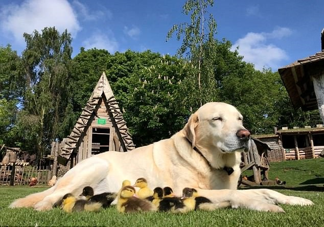 Foster Dad: Dog Adopts Nine Ducklings After Mom Abandoned Them
