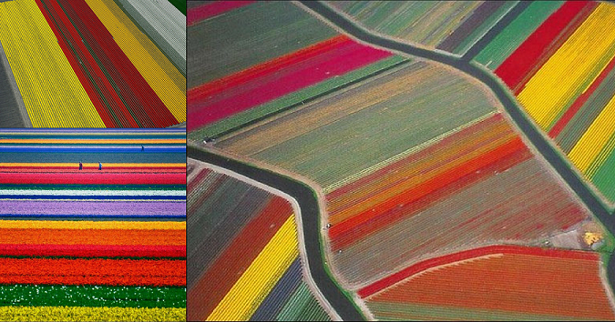 Aerial Shots — Colourful Blooming Tulips of Hollands Paint Its Own Fields