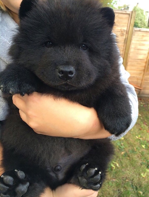 Puppies or Teddies? 40 Photos of Fluffy Dogs That Look More Like Bears