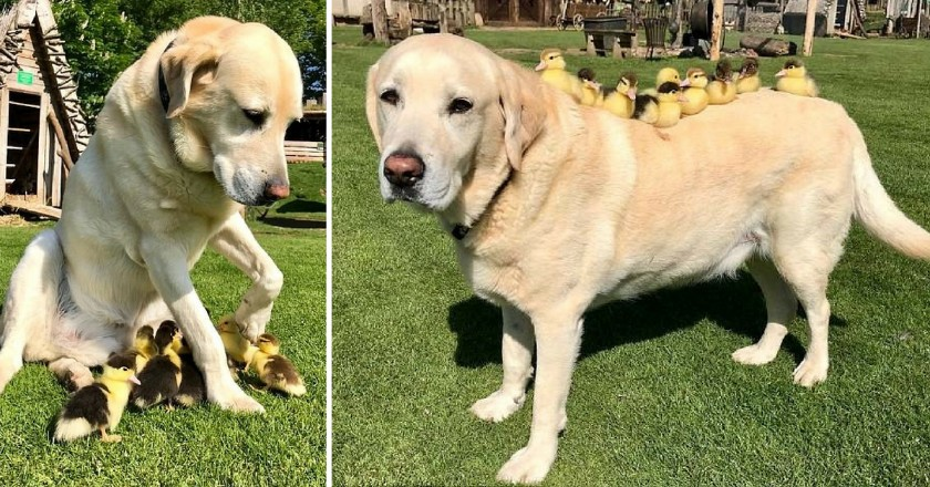 Foster Dad_ Dog Adopts Nine Ducklings After Mom Abandoned Them (2)