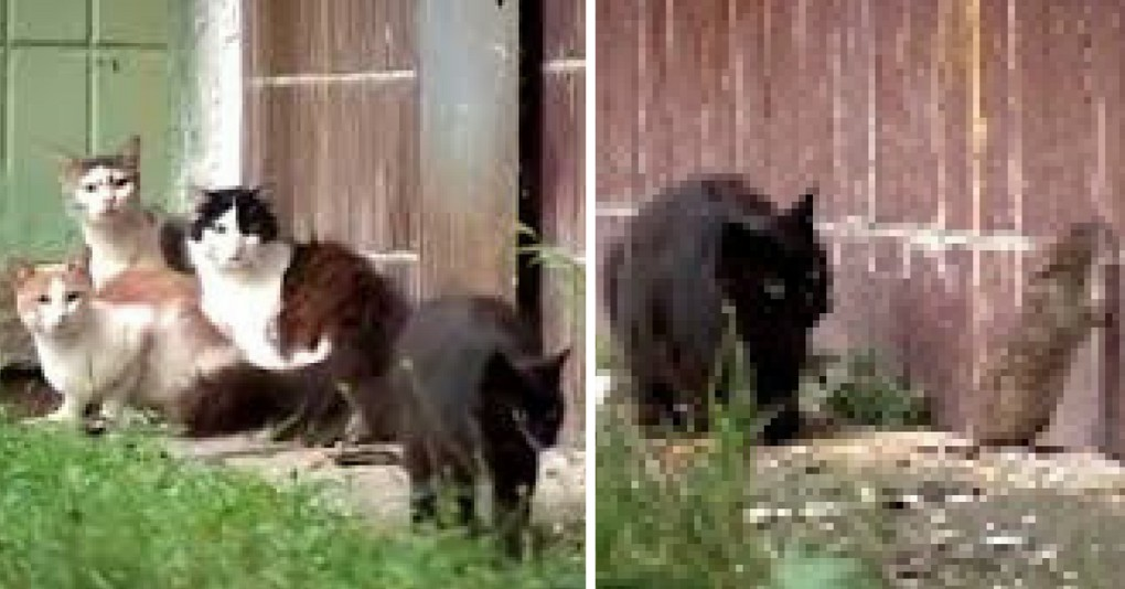 Four Cats Attack Lone Rat -- What Happens Next Is Unbelievable!