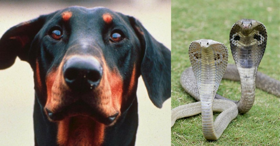 Hero Dog_ Doberman Sacrifices Life to Save Owners From 4 Killer Cobras