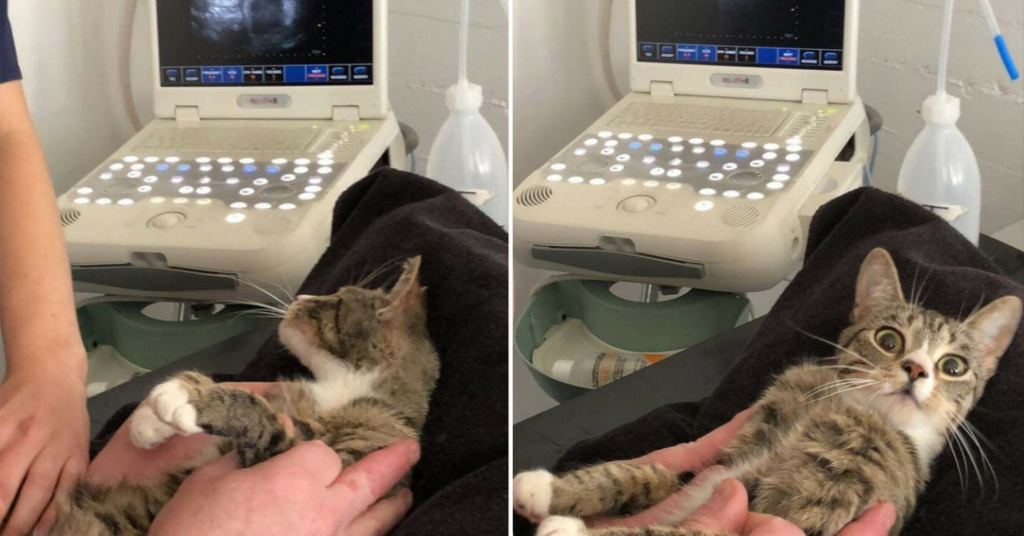 Year-Old Cat Finds out She's Pregnant -- and Is Extremely Shocked!