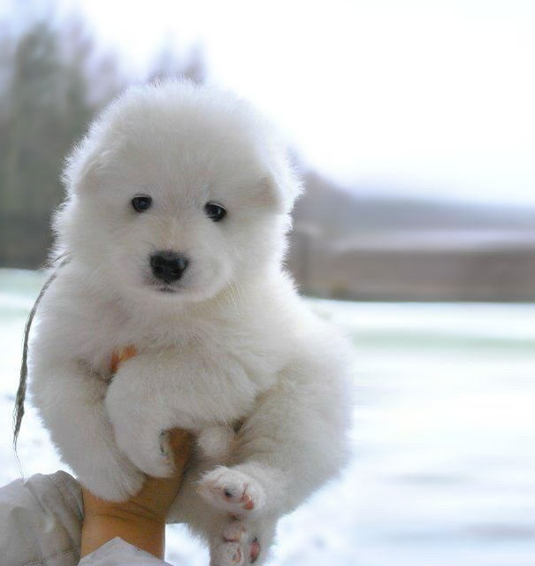 Most Inspiring Maltese Chubby Adorable Dog - chubby-puppies-bear-cub-look-alikes-14__605  Pictures_636879  .jpg