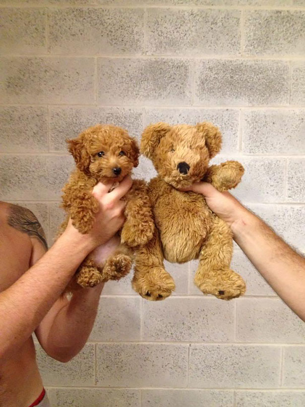 Popular Heavy Weight Chubby Adorable Dog - chubby-puppies-bear-cub-look-alikes-6__605  Trends_421171  .jpg