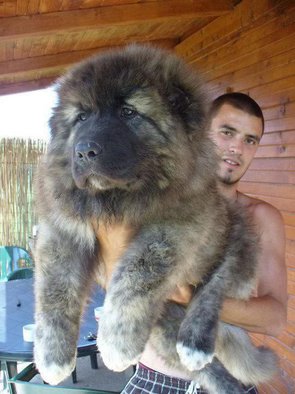 Must see Heavy Weight Chubby Adorable Dog - chubby-puppies-bear-cub-look-alikes-7__605  Perfect Image Reference_743148  .jpg