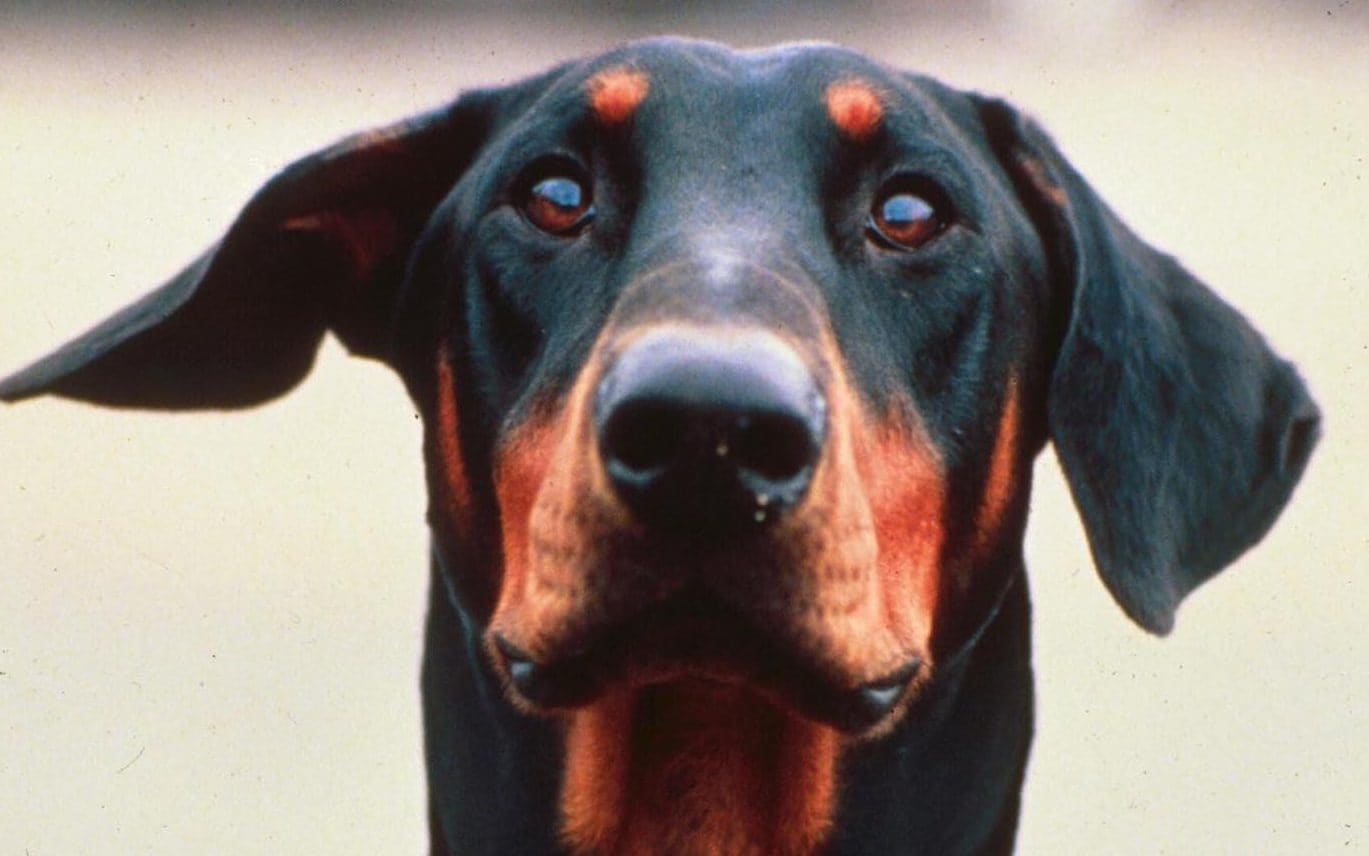 Hero Dog: Doberman Sacrifices Life to Save Owners From 4 Killer Cobras