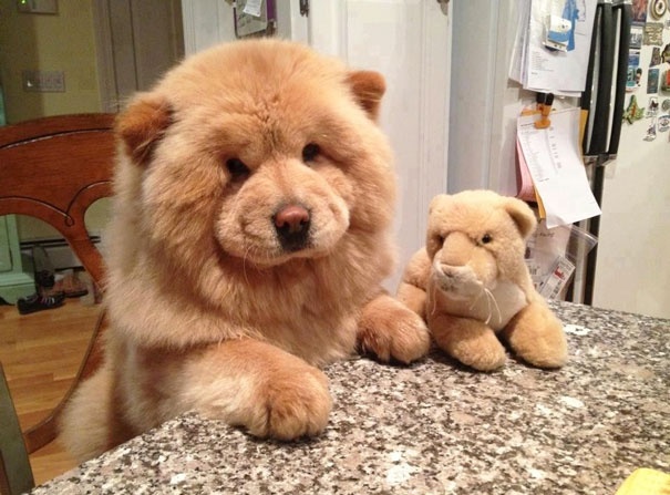 Puppies Or Teddies 40 Photos Of Fluffy Dogs That Look More Like Bears