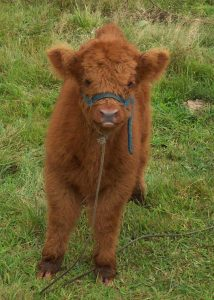 Cute Photos of Adorable Highland Cattle Calves That Prove They Are Just as Adorable as Kittens