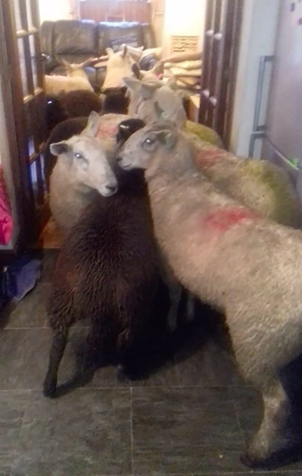 Sheepdog Pup Herds An Entire Flock of Sheep Into His Owner's Kitchen