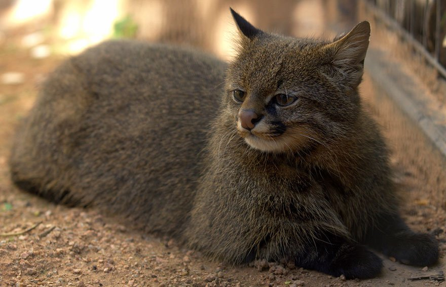 20 Rare Wild Cat Species Everyone Would Love To Have As Pets