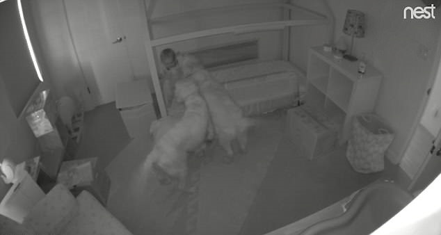 Two Dogs Open Door For Toddler to Escape Her Room at Night So She Can Get Them Food