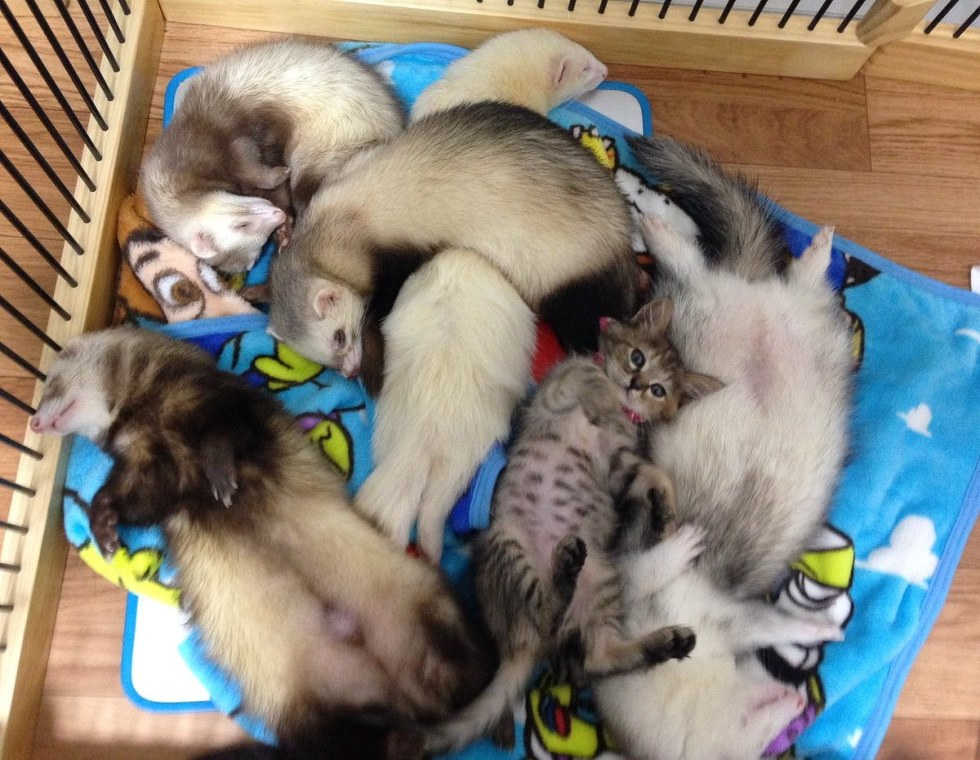 Orphaned Kitten Gets Adopted by a Family of Ferrets -- Now She Thinks She's One
