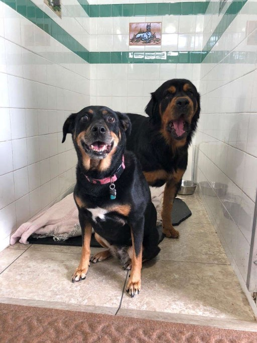 Paralyzed Rottweiler Almost Giving Up On Life Was Found in the Dumpster