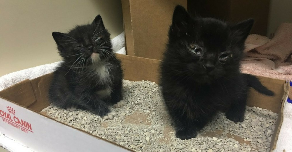 Woman Saves 'Almost Dying' Sibling Kittens and Raised them Into Gorgeous 'Panther' Cats
