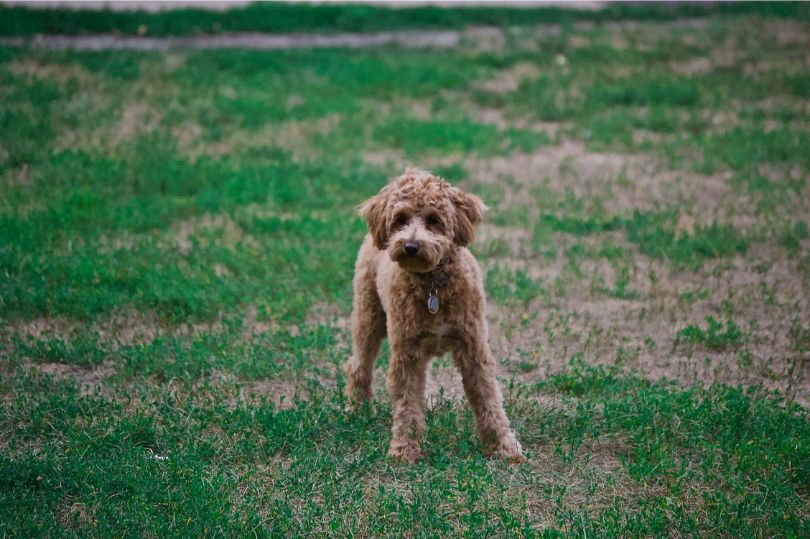 Top 10 Hypoallergenic Dog Breeds Perfect for People with Allergies
