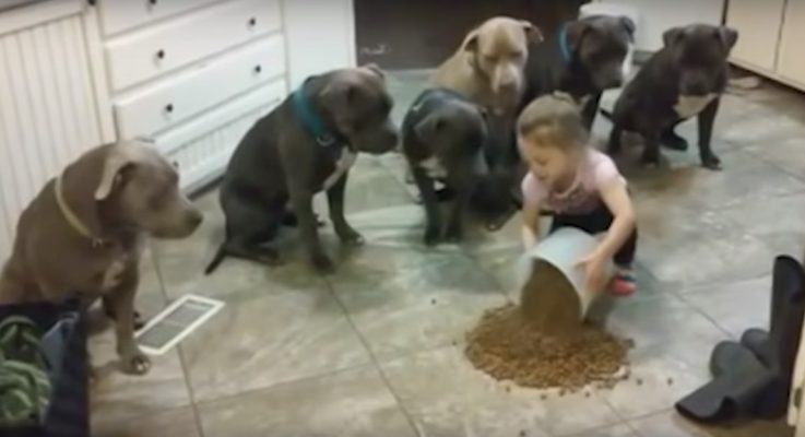Little Girl Feeds 6 Pitbulls, But the Dogs Will Only Eat When She Says 'OK!'