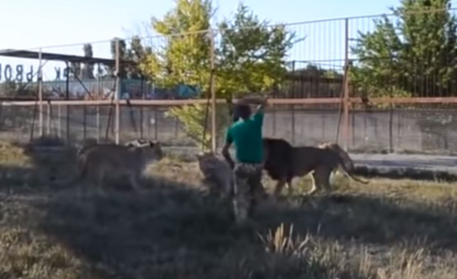 WATCH: Zoo Keeper Breaks up a Lion Fight with Nothing but His 'Magic' Slipper