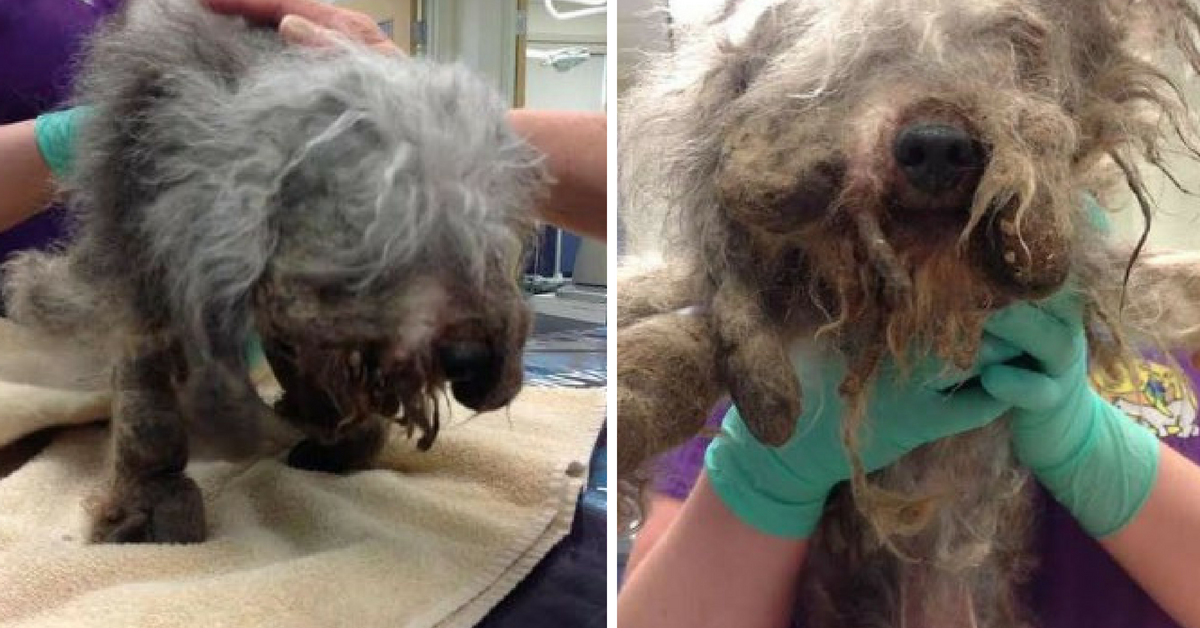 Severely Matted Tiny Senior Dog Was Abandoned In the Woods But Remained Sweet After Being Rescued