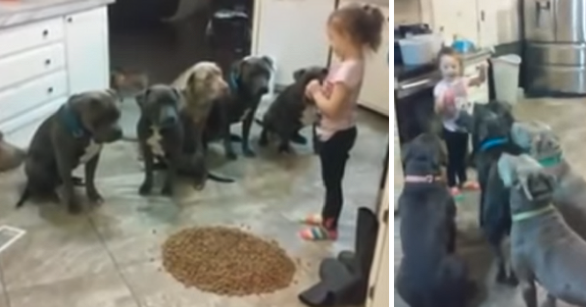 WATCH Little Girl Feeds 6 Pitbulls, But They Won't Eat Until She Says 'OK!'