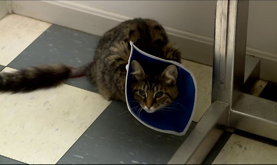 Cat Sustains Serious Injury After Someone Set Off Firecracker Inside Her Rectum