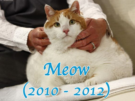 Fattest Cat in the World – Meow's Legacy Lives