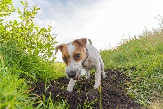 Why Dogs Eat Dirt and How to Stop It?