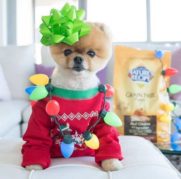 Meet Jiffpom – the Pomeranian Who Is More Popular Than Facebook Itself