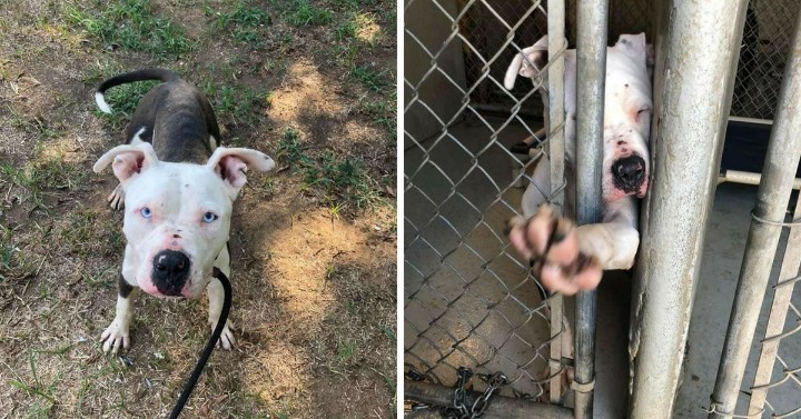 Pit Bull Left to Die and Tries to Reach out for Someone to Save His Life
