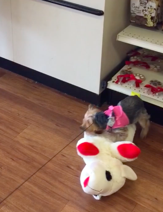 Little Dog Goes Shopping and Picks out the Biggest Toy in the Pet Store, She Carries It to the Car All by Herself