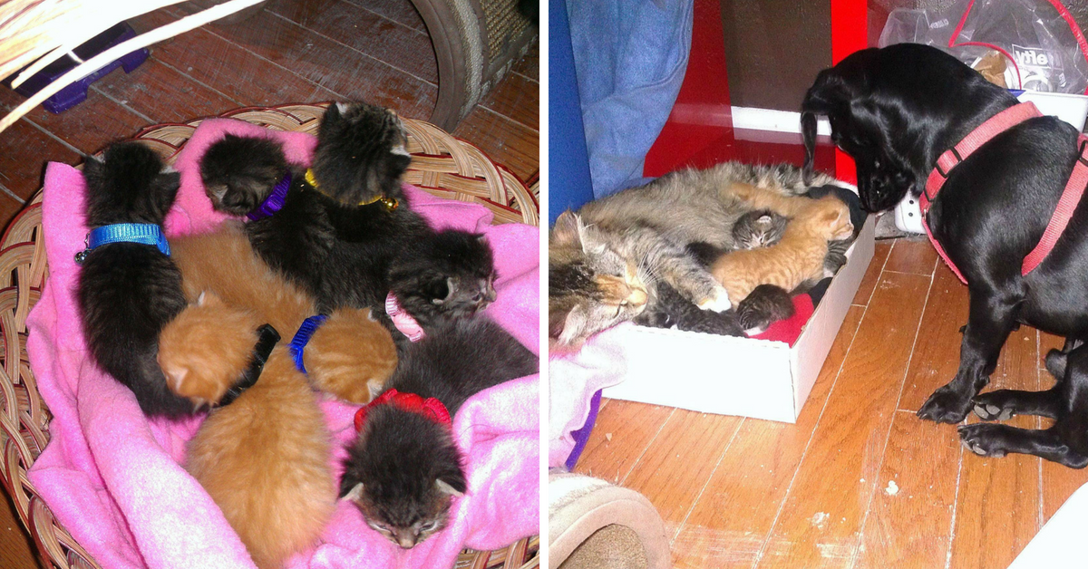 Stray Cat Gave Birth to 7 Kittens, Dog Volunteers to Be Their Dad