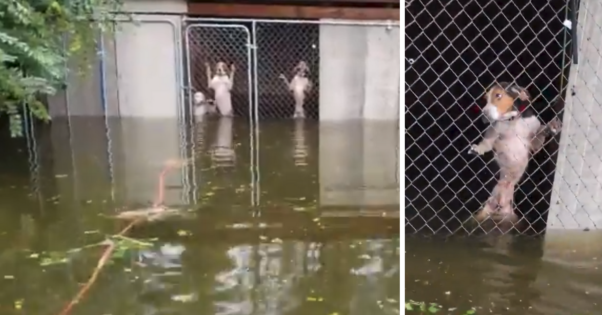 WATCH: Dogs Nearly Drowned In Locked Cage Amidst Hurricane Florence