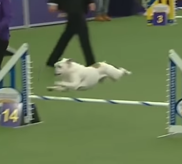 WATCH: Bulldog Defies Breed Stereotype With Unbelievable Agility