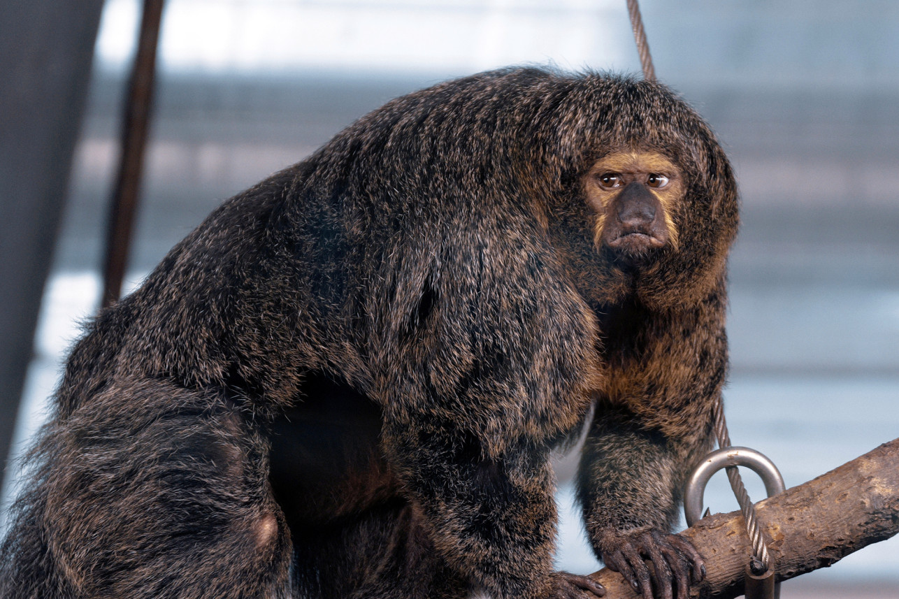 Insanely Ripped Monkey Spotted In Finland Zoo