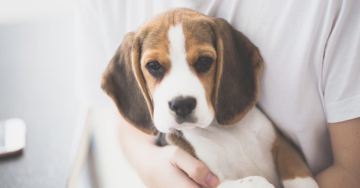 the-story-of-toots-an-adorable-little-beagle